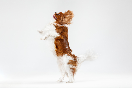 Spaniel puppy playing in studio. Cute doggy or pet is jumping isolated on white background. The Cavalier King Charles. Negative space to insert your text or image. Concept of movement, animal rights. Stockfoto - 121835401