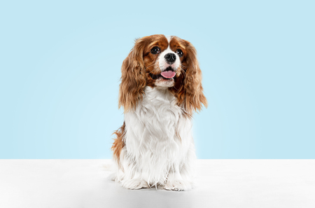 Spaniel puppy playing in studio. Cute doggy or pet is sitting isolated on blue background. The Cavalier King Charles. Negative space to insert your text or image. Concept of movement, animal rights. Foto de archivo - 121835424