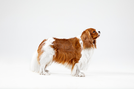 Spaniel puppy playing in studio. Cute doggy or pet is standing isolated on white background. The Cavalier King Charles. Negative space to insert your text or image. Concept of movement, animal rights.