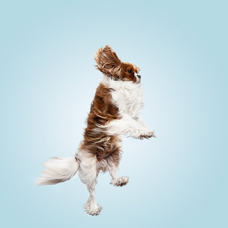 Spaniel puppy playing in studio. Cute doggy or pet is jumping isolated on blue background. The Cavalier King Charles. Negative space to insert your text or image. Concept of movement, animal rights.