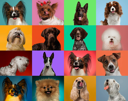 Little dogs are posing and looking in the camera. Cute doggies or pets are happy. The different purebred puppies. Creative collage isolated on multicolored studio background. Front view. Stock Photo