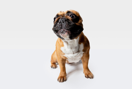 Young French Bulldog is posing. Cute white-braun doggy or pet is playing and looking happy isolated on white background. Studio photoshot. Concept of motion, movement, action. Negative space.