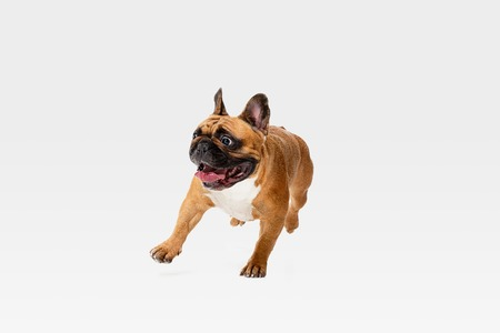 Young French Bulldog is posing. Cute white-braun doggy or pet is playing, running and looking happy isolated on white background. Studio photoshot. Concept of motion, movement, action. Negative space. Stockfoto