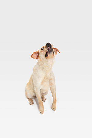 Labrador young dog is posing. Cute white-braun doggy or pet is playin and looking happy isolated on white background. Studio photoshot. Concept of motion, movement, action. Negative space. Stockfoto