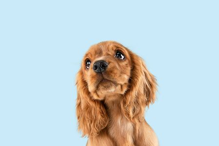 Looking so sweet and full of hope. English cocker spaniel young dog is posing. Cute playful braun doggy or pet is sitting isolated on blue background. Concept of motion, action, movement. Stock Photo - 124787220