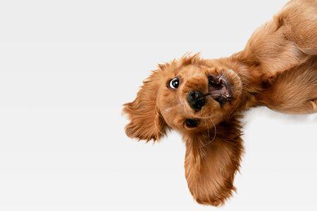 Purer Jugendverrückt. Englischer Cocker Spaniel junger Hund posiert. Nettes verspieltes weiß-braunes Hündchen oder Haustier spielt und sieht glücklich aus, isoliert auf weißem Hintergrund. Konzept der Bewegung, Aktion, Bewegung.