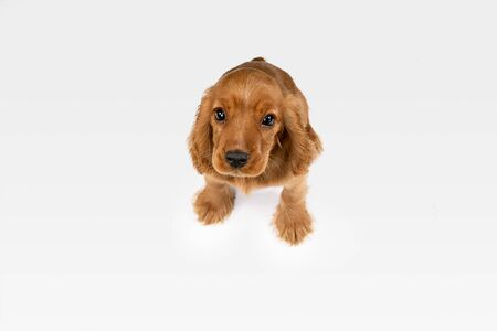 Waiting for parents. English cocker spaniel young dog is posing. Cute braun doggy or pet is lying and looking happy isolated on white background. Negative space to insert your text or image. Stock Photo