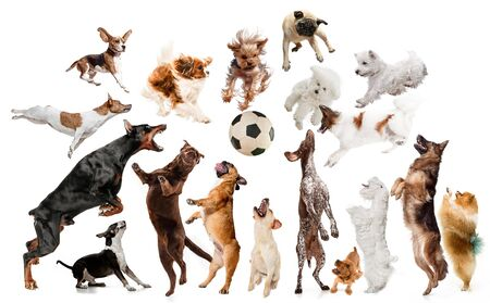 Young dogs are posing. Cute doggies or pets are looking happy isolated on white background. Studio photoshots. Creative collage of dogs, fighting for ball like a football players. Flyer for your ad. Imagens
