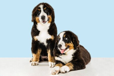 Berner sennenhund puppies posing. Cute white-braun-black doggy or pet is playing on blue background. Looks attented and playful. Studio photoshot. Concept of motion, movement, action. Negative space.