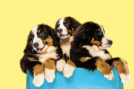 Berner sennenhund puppies posing. Cute white-braun-black doggy or pet is playing on yellow background. Looks attented and playful. Studio photoshot. Concept of motion, movement, action. Negative space.