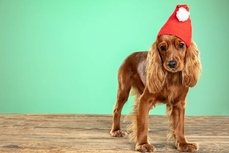 Christmas gift. English cocker spaniel young dog is posing. Cute playful brown doggy or pet lying on wooden floor isolated on green background. Concept of motion, action, movement, pets love.