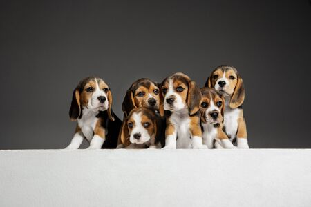 Beagle tricolor puppies are posing. Cute white-braun-black doggies or pets playing on grey background. Look attented and playful. Studio photoshot. Concept of motion, movement, action. Negative space. Stock Photo