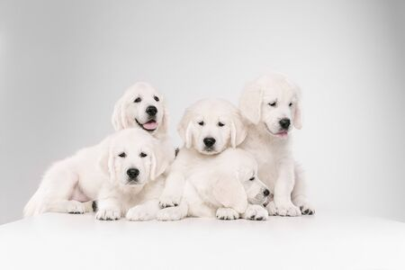 Big family. English cream golden retrievers posing. Cute playful doggies or purebred pets looks cute isolated on white background. Concept of motion, action, movement, dogs and pets love. Copyspace.
