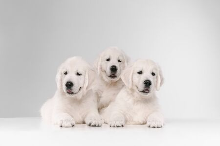 English cream golden retrievers posing. Cute playful doggies or purebred pets looks playful and cute isolated on white background. Concept of motion, action, movement, dogs and pets love. Copyspace. Stock Photo
