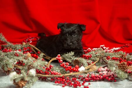 Scottish terrier puppy posing. Cute black doggy or pet playing with Christmas and New Year decoration. Looks cute. Studio photoshot. Concept of holidays, festive time, winter mood. Negative space. Stock fotó