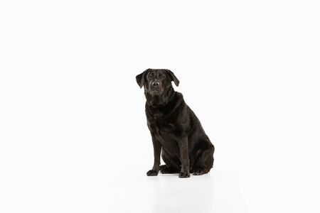 Serious. Black labrador retriever having fun. Cute playful dog or purebred pet looks playful and cute isolated on white background. Concept of motion, action, movement, dogs and pets love. Copyspace.