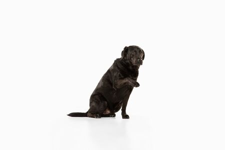 Friend. Black labrador retriever having fun. Cute playful dog or purebred pet looks playful and cute isolated on white background. Concept of motion, action, movement, dogs and pets love. Copyspace. Stock Photo