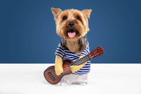 Guitarist, musician. Yorkshire terrier dog is posing. Cute playful brown black doggy or pet playing on blue studio background. Concept of motion, action, movement, pets love. Looks delighted, funny.