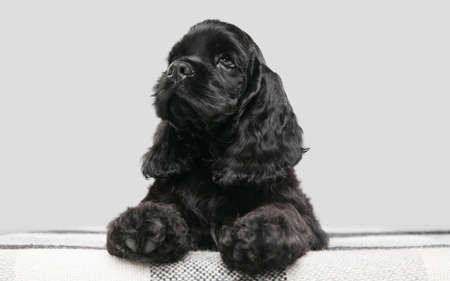 American cocker spaniel puppy posing. Cute dark-black doggy or pet playing on grey background. Looks attented and playful. Studio photoshot. Concept of motion, movement, action. Copyspace.