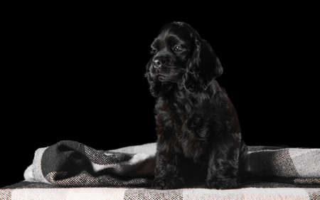 American cocker spaniel puppy posing. Cute dark-black doggy or pet playing on black background. Looks attented and playful. Studio photoshot. Concept of motion, movement, action. Copyspace.
