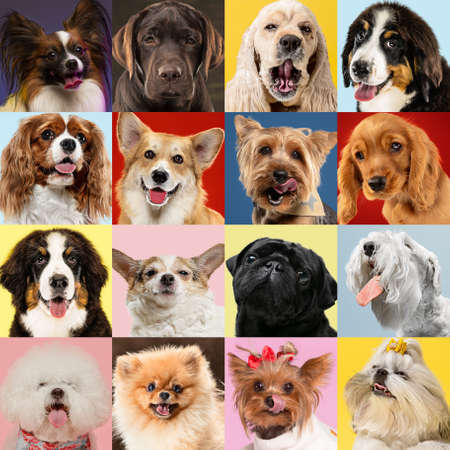 Stylish adorable dogs posing. Cute doggies or pets happy. The different purebred puppies. Creative collage isolated on multicolored studio background. Front view, modern design. Various breeds.