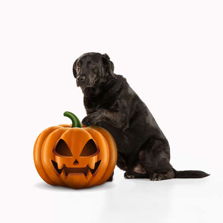 Cute puppy with halloween Jack-o-Lantern pumpkin isolated on white studio background. Meeting the autumn holidays with traditional decoration. Concept of pets love, fun, sales, ad. Copyspace. Zdjęcie Seryjne