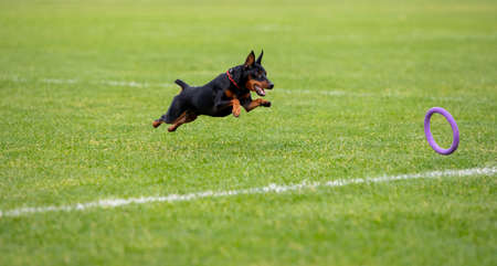 Sportive dog performing during the lure coursing in competition. Pet sport, motion, action, showing, performance concept. Pets love. Young animal training before performing. Looks strong, purposeful.