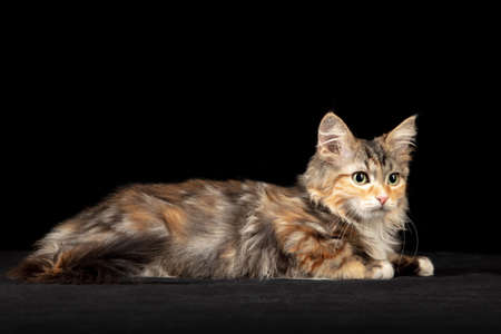 Calmness. Little multicolor kitty of Siberian cat isolated on black studio background. Studio photoshot. Concept of motion, action, pets love, animal grace. Looks happy, delighted, funny. Copyspace.