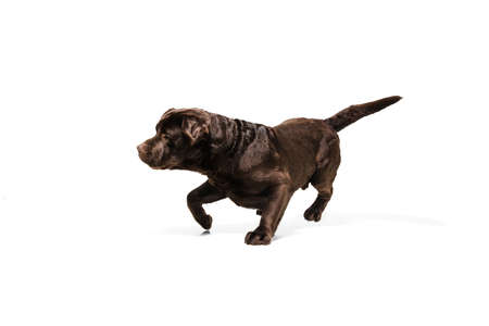 On the run. The brown, chocolate labrador retriever playing on white studio background. Young doggy, pet looks playful, cheerful, sincere kindly. Concept of motion, action, pets love, dynamic.