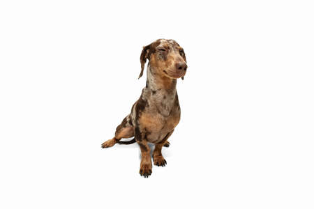 Cute puppy of Dachshund dog posing isolated over white background