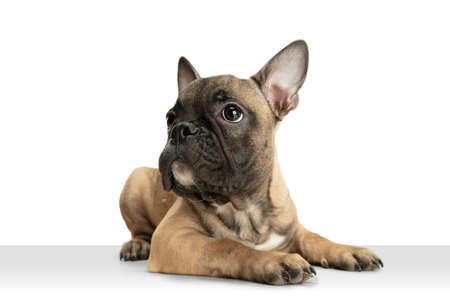 Young brown French Bulldog playing isolated on white studio background