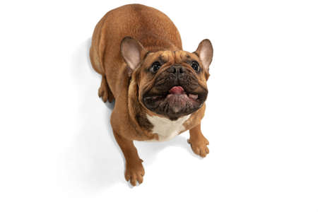 Young brown French Bulldog playing isolated on white studio background Zdjęcie Seryjne