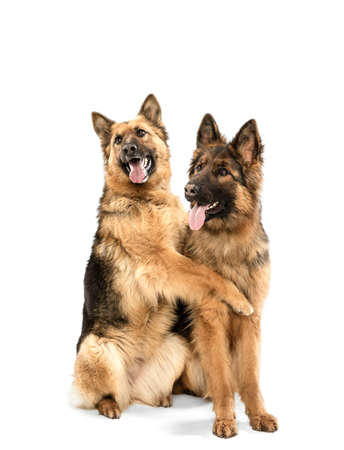 Cute Shepherd dogs posing isolated over white background
