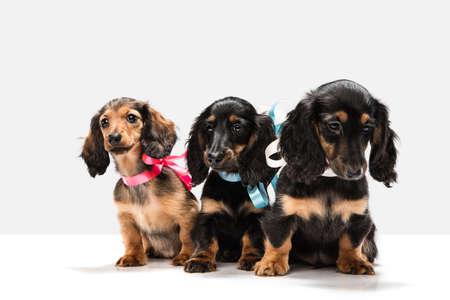 Cute puppies, dachshund dogs posing isolated over white background Stock Photo