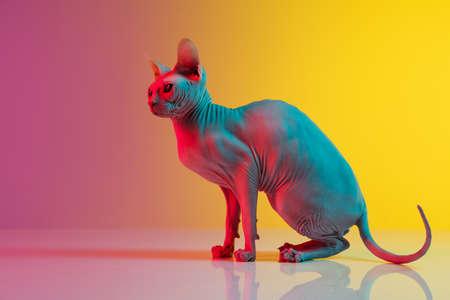 Cute sphynx cat, kitty posing isolated over gradient studio background in neon light Stockfoto