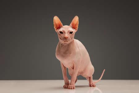 Cute sphynx cat, kitty posing isolated over gray studio background Stockfoto