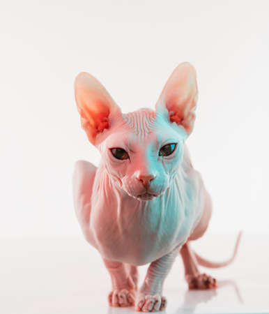 Cute sphynx cat, kitty posing isolated over white studio background in neon light