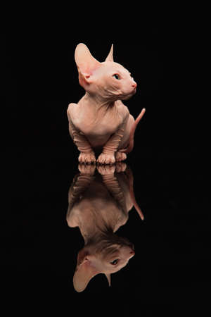 Cute sphynx cat, kitty posing isolated over black studio background Stockfoto