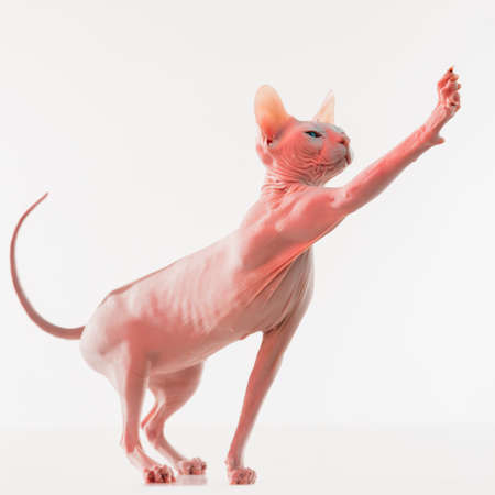 Cute sphynx cat, kitty posing isolated over white studio background in neon