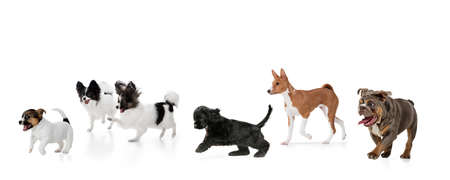 Art collage made of funny dogs different breeds posing isolated over white studio background.