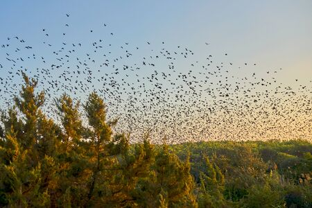 Thousands Of Migrating Birds Flying Together Above A Wetland Area As The Sun Sets. Banco de Imagens