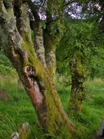 Moss on old mature trees in Irish countryside photo