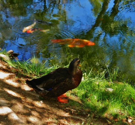 Orange footed duck sits by pond  and watches the big orange koi photo