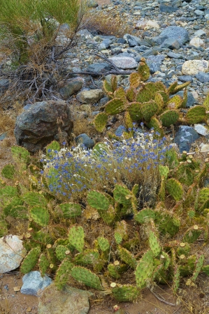 Prickly Pear Cactus Foreground With Purple And White Desert Summer Wildflowers photo
