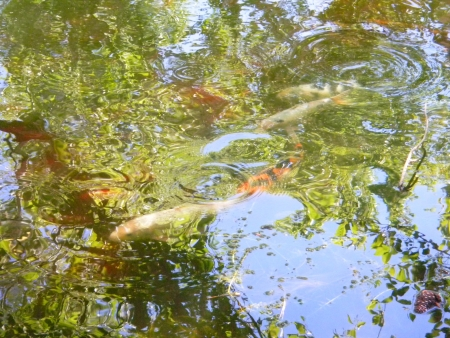 koi: White and orange koi in pond with reflections of sky and trees creating artistic swirl patterns