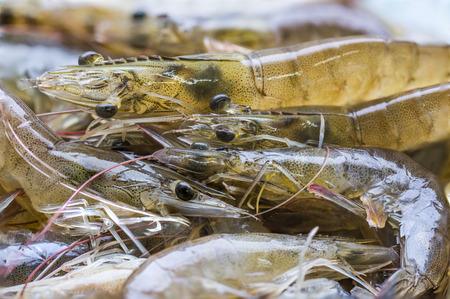 vivo: Shrimp