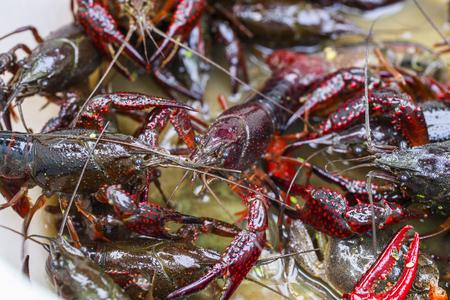 arthropod: Crayfish Stock Photo