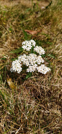 macro photo of beautiful butterfly in the sunlight in the wild field flower medicinal plants of Yarrow vague unclear on the background of the forest landscape and greenery as the source for design photo yarrow is a perennial herbaceous plant