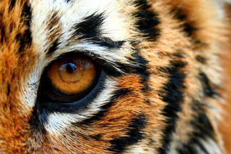 animal eye: Eye of the tiger