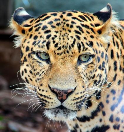 leopard head: Leopard, Panther, Jaguar